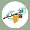 golden pine cone best garden shop